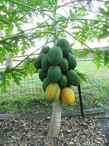 Little Dwarf Thai Red Lady Papaya 15 Fresh Seeds With Free Shipping
