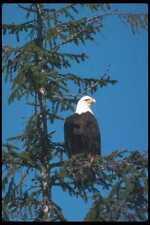 135083 Bald Eagle Sitting In Tree A4 Photo Print