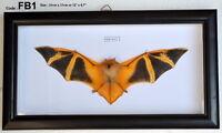 FB1 # Real Orange Fire Bat Taxidermy Mounted Framed Frame Rare Nice VIET NAM