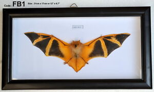 FB1-Real-Orange-Fire-Bat-Taxidermy-Mounted-Framed-Frame-Rare-Nice-VIET-NAM