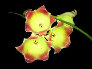 Hoya-lauterbachii-species-x-1