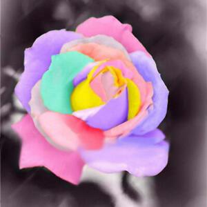 100-Stuecke-Bunte-Seltene-Rose-Samen-Garten-DIY-Blume-Bonsai-Mehrjaehrige-Pflanzen