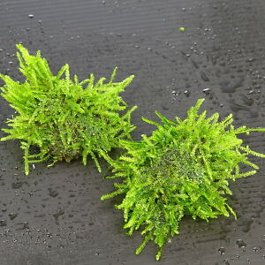 Java-Moss-Stone-Pad-3pcs-Live-Aquarium-Plants-Low-Light-Tropical-Fish-Tank