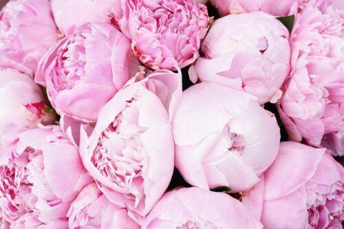 10 Pcs Seeds Pink Big Peony Decorative Flower Beautiful Garden Home Bonsai