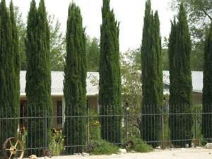 Italian Cypress Tree Seeds Cupressus sempervirens 50+ 25+Seeds