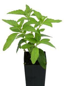 Live plants Chocolate Mints Rau hung cay Culinary Herbs Mentha perennial herb