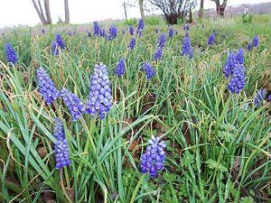 Lot of 30 small grape hyacinth flower bulbs spring flower bulbs ebay image is loading lot of 30 small grape hyacinth flower bulbs mightylinksfo