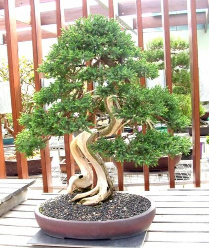 Plants Seedlings 10x Seeds Juniperus Chinensis Rare Japanese Juniper Bonsai Tree Seeds Garden Patio Quatrok Com Br