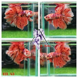 [121_A3]Live Betta Fish High Quality Male Candy Over Halfmoon 📸Video Included📸