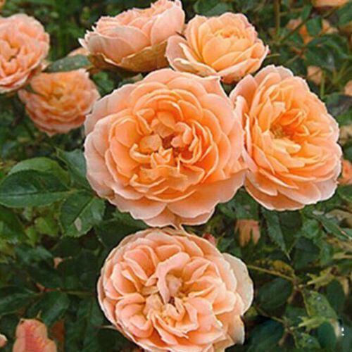 100Pcs Perennial Climbing Rose Seeds Fragrant Flower Home Garden Decor 4 Colors