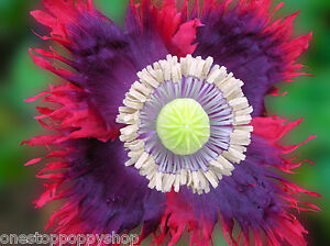 100 poppy flower seeds drama queen papaver somniferum breadseed image is loading 100 poppy flower seeds drama queen papaver somniferum mightylinksfo