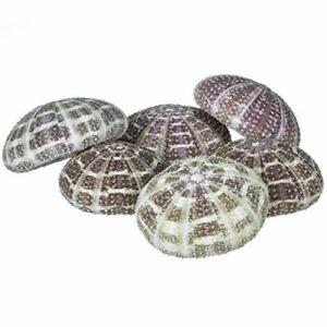 Sea-Urchin-6-Alphonse-Urchin-Shells-2-1-2-034-3-034-Craft-amp-Decor