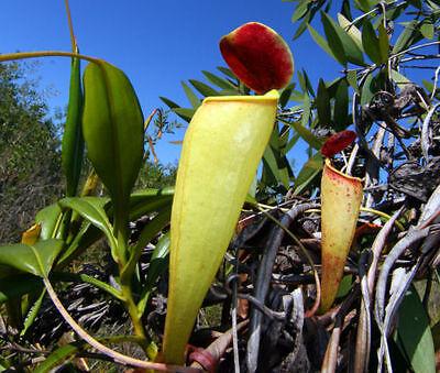 exotische Blüten Rarität Saatgut seltene Garten Balkon Pflanze KANNENPFLANZE