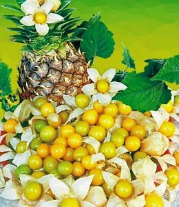 10 seeds cossack pineapple ground cherry organic cape for Pineapple in the ground