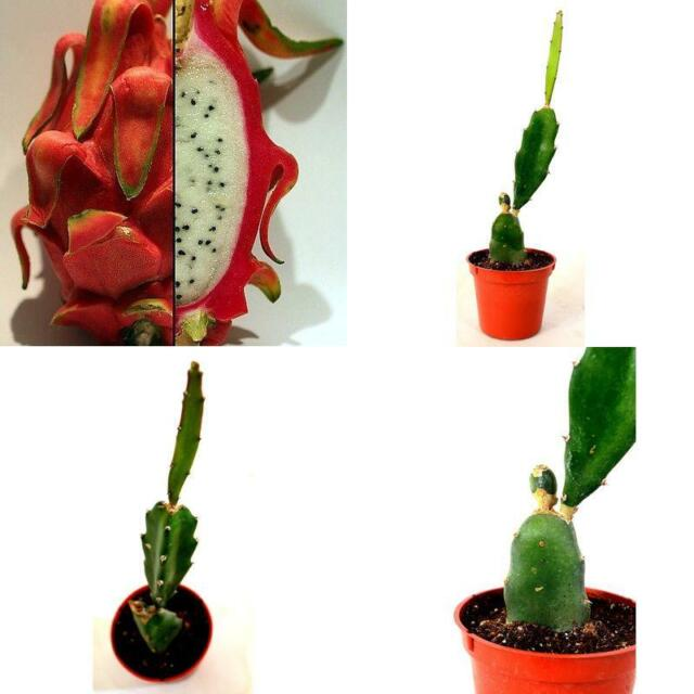 Image result for Dragon fruit plant