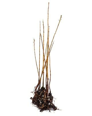 Taxodium Distichum Bald Cypress House Marshes Offer 10