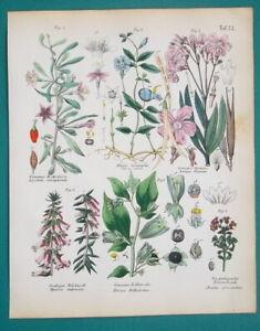 MEDICINAL-PLANTS-Oleander-Tea-Tree-Myrtle-Heath-Belladonna-1845-H-C-COLOR-Print
