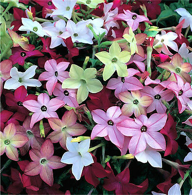 100 HEIRLOOM MIX NICOTIANA Flowering Tobacco Seeds