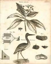 1802  Myrtus Pimenta Day Net For Bird Catching Nebel Mycteria Americana Copperpl