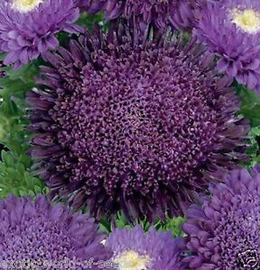 Russian aster seeds unusual pompom very dark purple flowers ebay image is loading russian aster seeds unusual pompom very dark purple mightylinksfo Choice Image