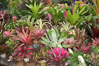 Bulk Bromeliad 10 x Bromeliads inc. Neoregelias Aechmeas Billbergias Vrieseas