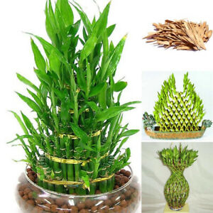 Am-100pcs-Lucky-Bamboo-Choose-Potted-UDSA-Bonsai-Variety-Complete-Dracaena-Budd