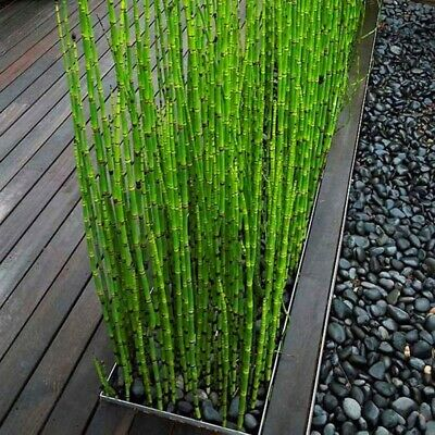 50pcs Rare Mini Black Moso Bamboo Tree Seeds Plants Decor Indoor