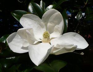 Southern-Magnolia-Magnolia-grandiflora-Organic-30-Seeds-Free-US-Shipping