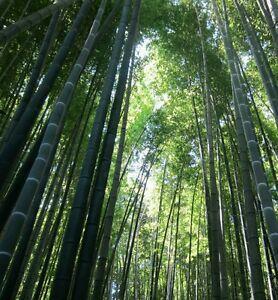 Moso bamb semi giant world 39 s pi alti di bamb pi for Semi bambu gigante