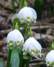 Märzenbecher • 10 Samen/seeds • Leucojum vernum • Frühlingsknotenblume•Snowflake