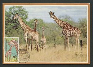 CSSR-MK-1977-FAUNA-GIRAFFE-GIRAFE-MAXIMUMKARTE-CARTE-MAXIMUM-CARD-MC-CM-d4404