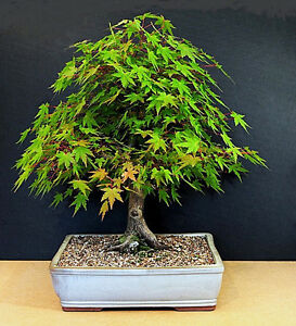 JAPANESE-MAPLE-Acer-Palmatum-15-SEEDS-Perfect-bonsai