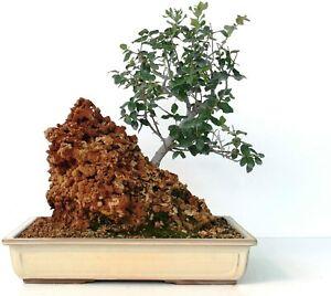 Kermes Oak Quercus coccifera 3 fresh Seeds
