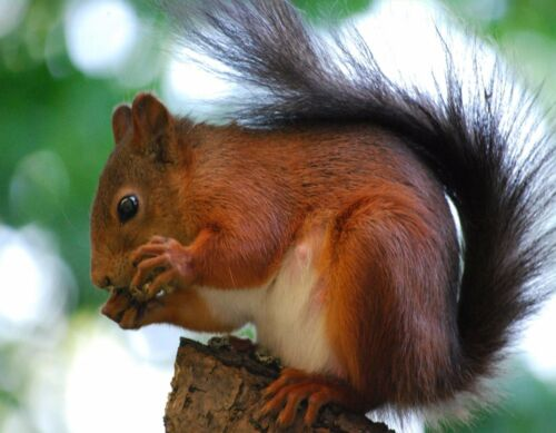 METAL MAGNET Red Squirrel Eating Travel Sweden Squirrels MAGNET
