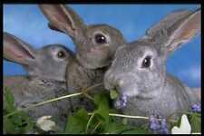 471016 Apricot Blue Rex Rabbit A4 Photo Print
