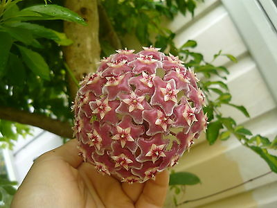 1 HOYA WAX FLOWER rooted CUTTING PLANT/ RED COLOUR /nice-scent/'Royal Hawaiian""