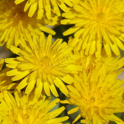 5.000 Samen Löwenzahn Taraxacum officinale Bienenweide Essbar Pusteblume Saatgut