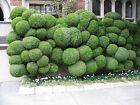 Juniper Balls Seeds Rare Plant AUS Stock FREE Shipping