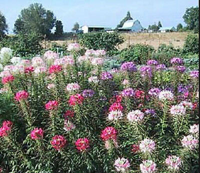 Cleome Spider Flower 50 Seeds Mixed Colors  Butterflies Hummingbirds Beautiful !