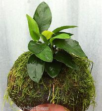 Anubias Barteri Nana Coconut Breeding Cave Live  Aquarium Plants