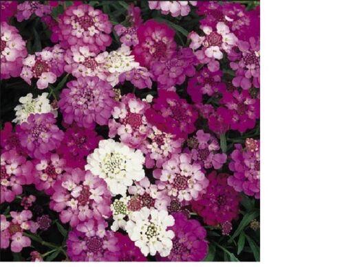 Candytuft Dwarf Fairy Mix Flower Seeds Fresh /& Hand Packaged