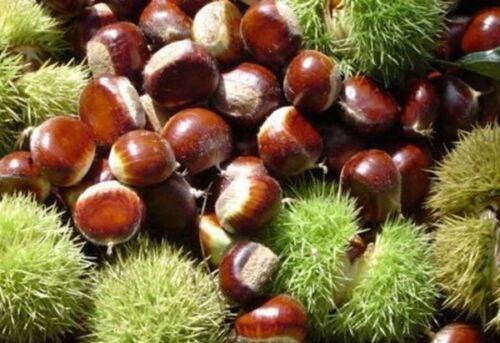 5 chinois Chestnut Castanea mollissima trotical écrou dilicious friut