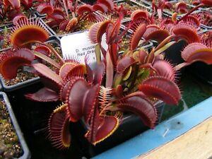 Carnivorous-Plant-Dionaea-muscipula-039-Akai-Ryu-039-AKA-Red-Dragon
