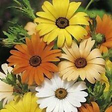 50 African Daisy Mix Seeds