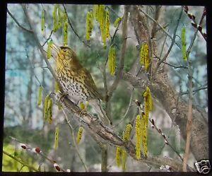 Glass-Magic-Lantern-Slide-BIRDS-OF-EUROPE-NO39-C1910-ORNITHOLOGY-PHOTO-THRUSH