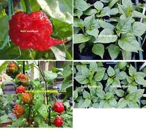 Carolina-Reaper-Chilli-Plant-Red-The-World-039-s-Official-Hottest-Chilli-Pepper
