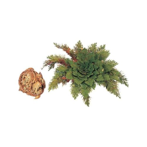 Resurrection Plant Jericho Dinosaur Plant Magic Kids Science Fern Desert Moss