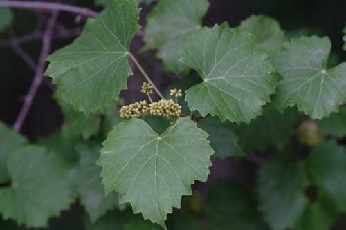 Grape Seeds Muscadine Grape Vitis rotundifolia  Organic  Seeds UK SELLER