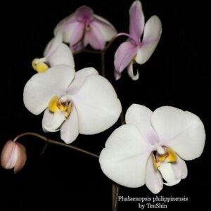 TS1020-152-Phalaenopsis-philippinensis-Bare-Root-T731