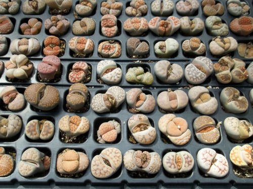 Living stones Lithops Variety MIX succulent mesembs stone cactus seed 30 SEEDS